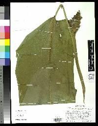 Calathea latifolia image