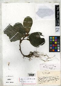 Reldia alternifolia image
