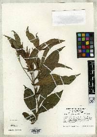 Aphelandra panamensis image