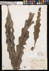 Epiphyllum phyllanthus image