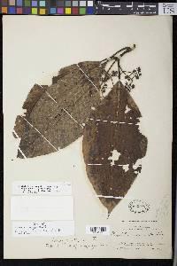 Psychotria panamensis image