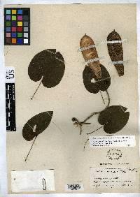 Bauhinia hymenaeifolia image