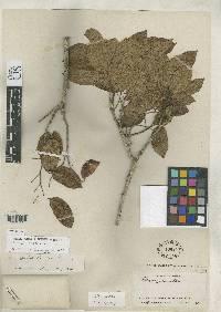 Peltogyne purpurea image
