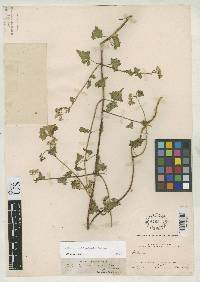 Mikania amblyolepis image