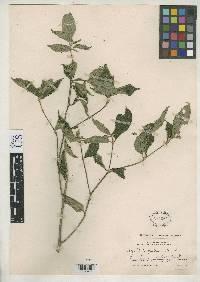 Psychotria pittieri image