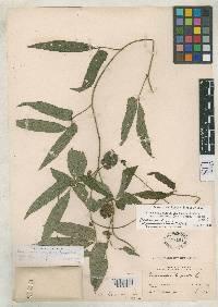 Dalechampia cissifolia image