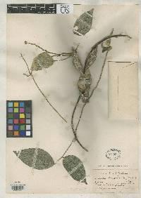 Image of Canavalia bicarinata