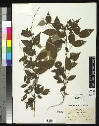 Gonzalagunia rudis image