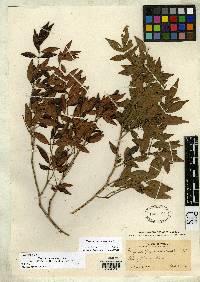 Eugenia chepensis image