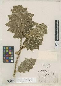 Solanum pectinatum image