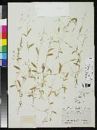 Image of Panicum pyrularium
