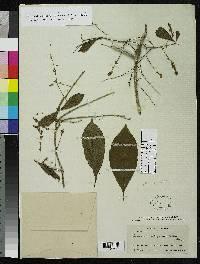 Terminalia chiriquensis image