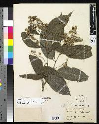 Homalium racemosum image