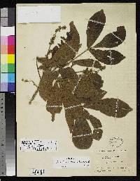 Trichilia martiana image