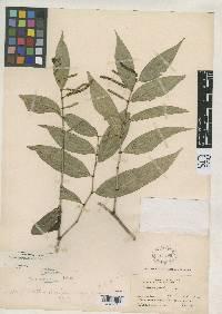 Piper hirtellipetiolum image