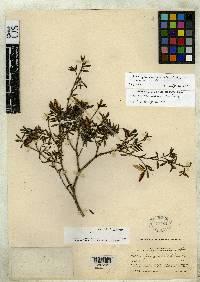 Hillia panamensis image