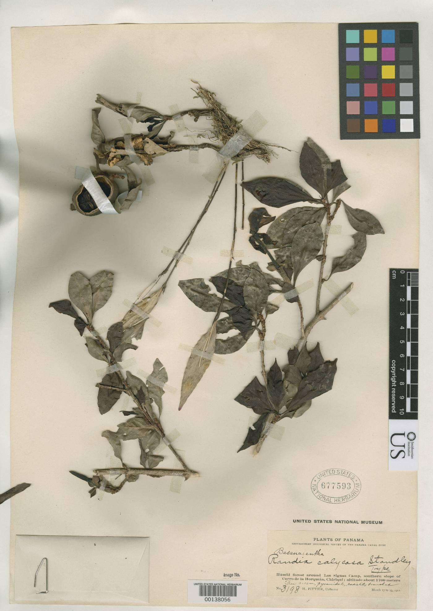 Randia calycosa image