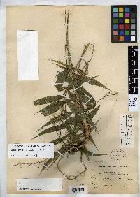 Image of Chamaedorea linearia