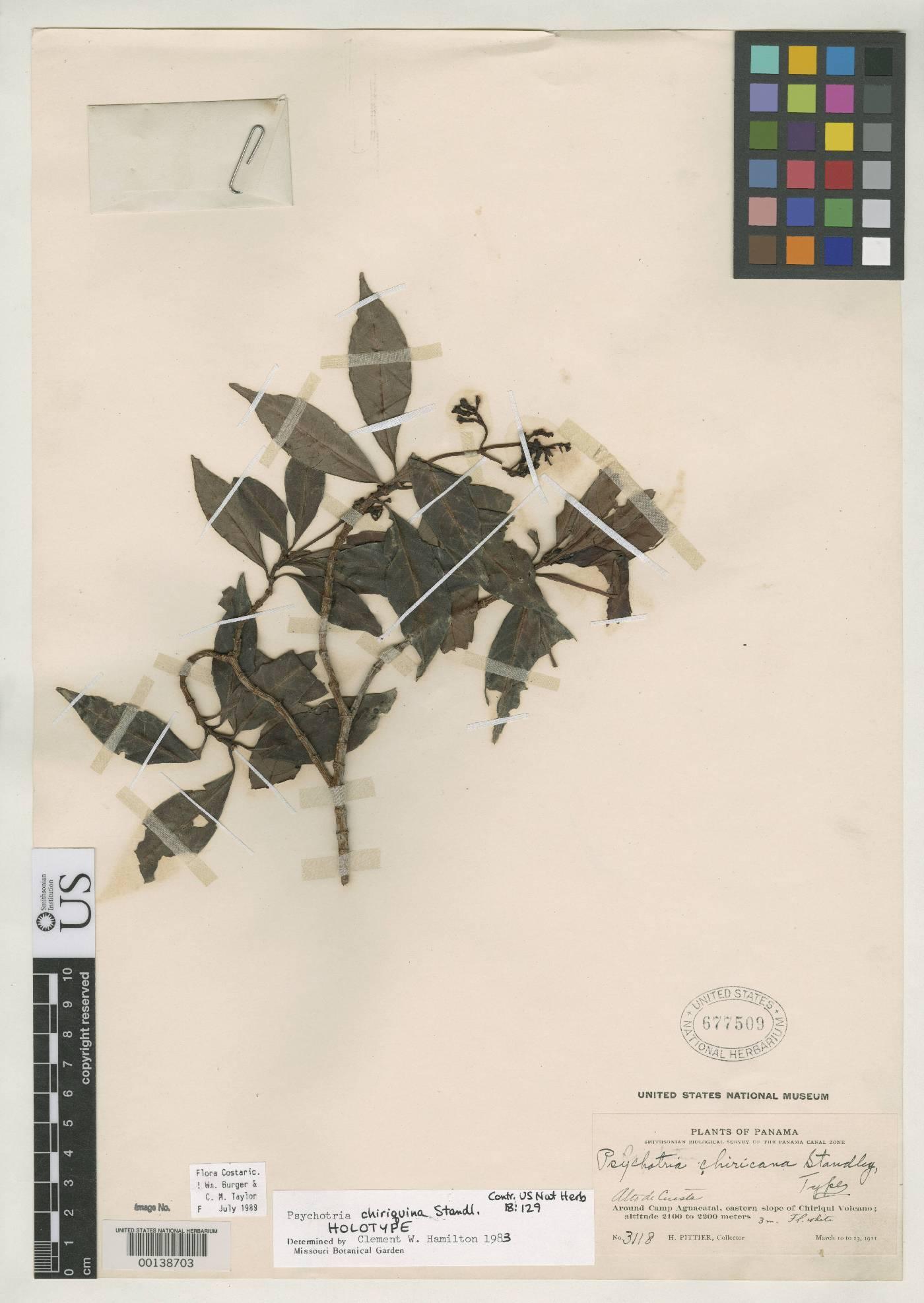 Psychotria chiriquina image
