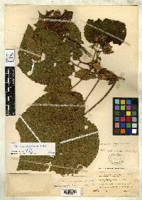 Heliocarpus americanus image
