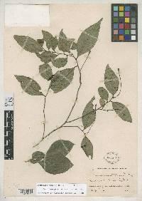 Desmopsis maxonii image