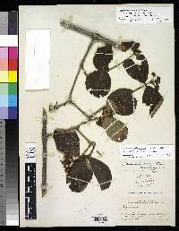 Viburnum conspectum image
