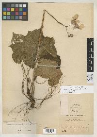 Image of Begonia mucronistipula