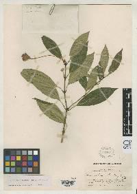 Image of Psychotria dichroa