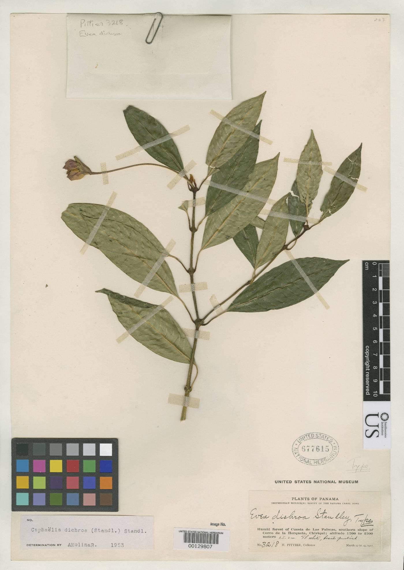 Psychotria dichroa image