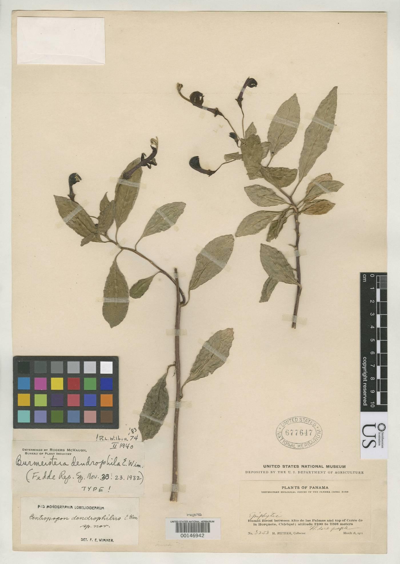 Burmeistera dendrophila image