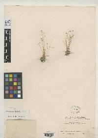 Syngonanthus pittieri image