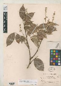 Rourea adenophora image
