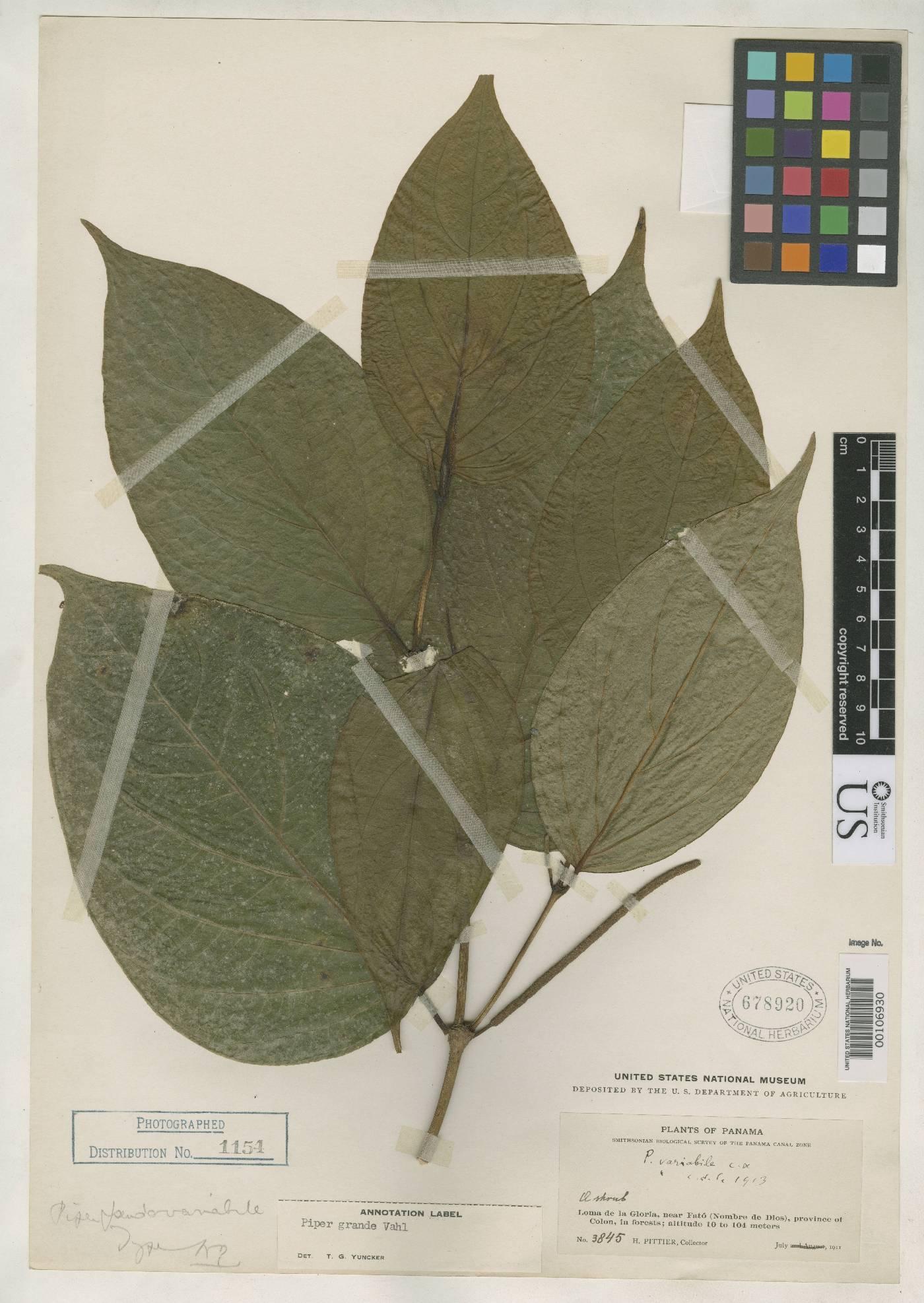 Piper pseudovariabile image