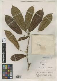 Ficus paraensis image