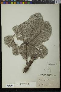 Cecropia longipes image