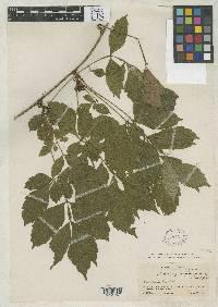 Paullinia funicularis image