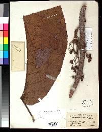 Sloanea megaphylla image