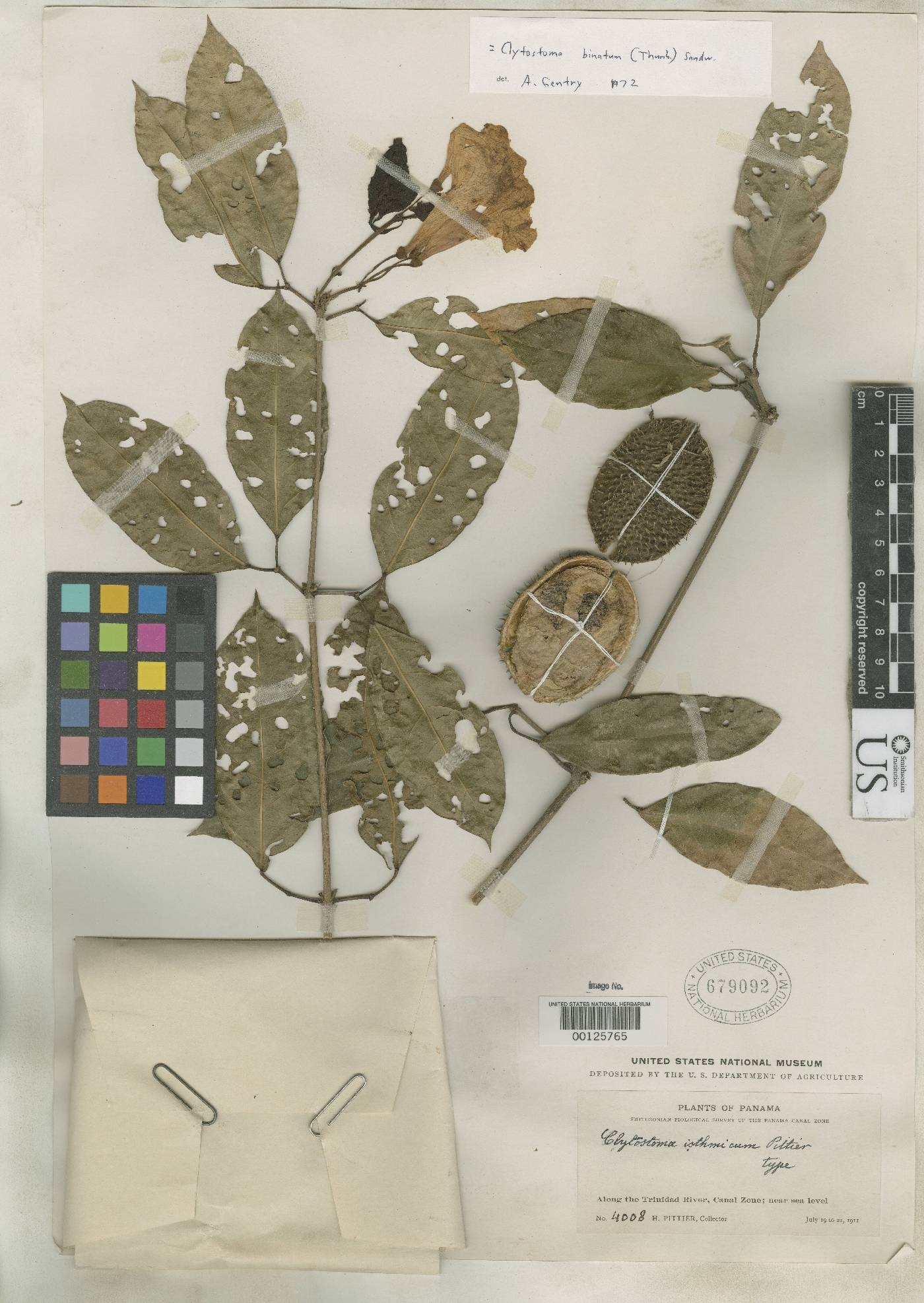 Bignonia binata image