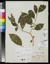 Heisteria longipes image