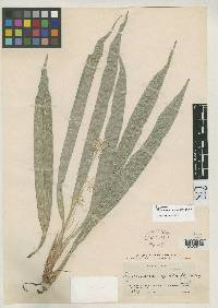 Rhynchospora argentea image