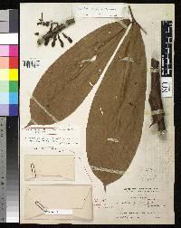 Macrolobium pittieri image