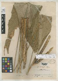 Pleiostachya pittieri image