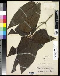 Image of Psychotria insignis