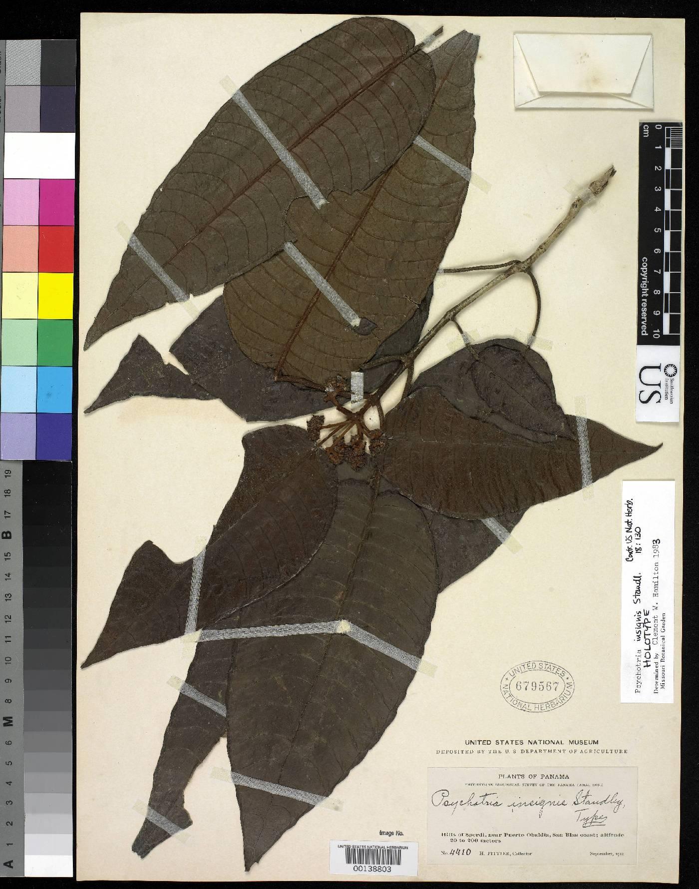 Psychotria insignis image