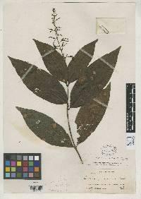 Bertiera guianensis image