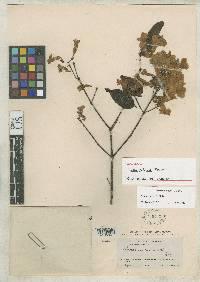 Image of Lundia puberula