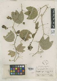 Passiflora panamensis image