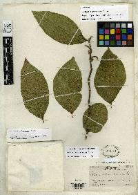 Solanum microleprodes image