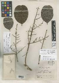 Zanthoxylum riedelianum image