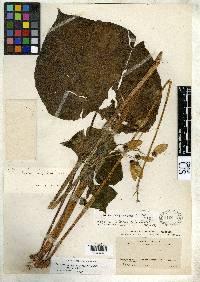 Image of Begonia garagarana